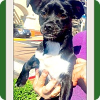 Adopt A Pet :: Batman - Las Vegas, NV