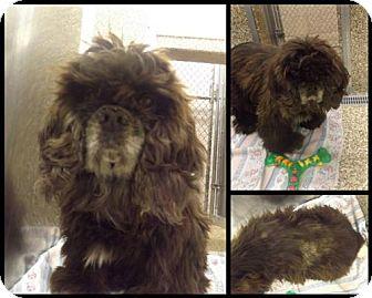Cocker Spaniel Dog for adoption in Martinsburg, West Virginia - Sissy