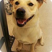 Adopt A Pet :: A - ARCHIE - Burlington, VT