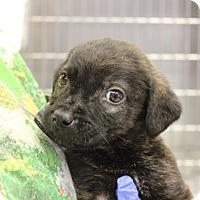 Adopt A Pet :: Bentley - Philadelphia, PA