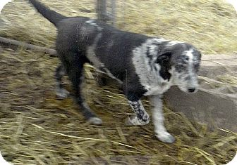 Australian Shepherd Mix Dog for adoption in Moulton, Alabama - Abe