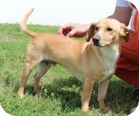 Labrador Retriever/Beagle Mix Dog for adoption in Staunton, Virginia - Sheldon