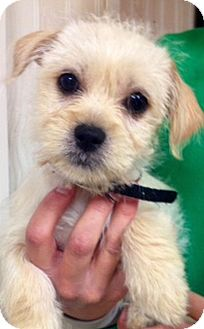 Terrier (Unknown Type, Small) Mix Puppy for adoption in Green Bay, Wisconsin - Nicholas