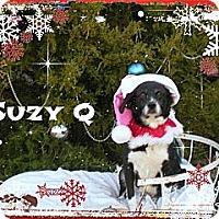Adopt A Pet :: Suzy Q - McKinney, TX