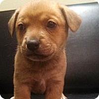 Adopt A Pet :: Dexter - Norman, OK