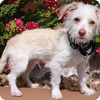 Adopt A Pet :: Sir D. - Gilbert, AZ