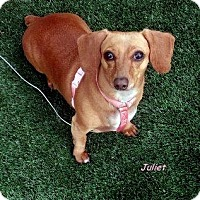 Adopt A Pet :: Juliet - Chandler, AZ