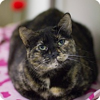 Domestic Shorthair Cat for adoption in Grayslake, Illinois - Lassie