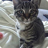 Adopt A Pet :: Juniper - St. Louis, MO