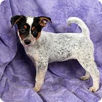Adopt A Pet :: Pauline HeelerMix - St. Louis, MO