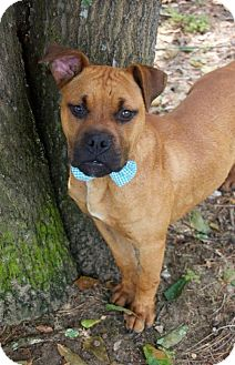 Boxer Mix Dog for adoption in Whitestone, New York - Emmett