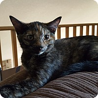 Maine Coon Kitten for adoption in Lodi, California - Sienna