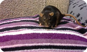 Rat for adoption in Welland, Ontario - Sasha