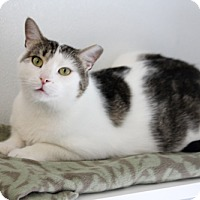 Domestic Shorthair Cat for adoption in Harrison, New York - Bowie