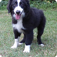 Adopt A Pet :: Lil Man - Hartford, CT