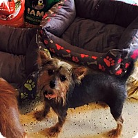 Chinese Crested/Yorkie, Yorkshire Terrier Mix Dog for adoption in Egg Harbor City, New Jersey - Misty