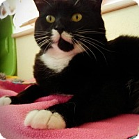 Adopt A Pet :: Kitty - Prescott, AZ