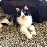 Calico Cat for adoption in McKinney, Texas - Cali