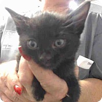Domestic Shorthair Kitten for adoption in San Bernardino, California - URGENT on 9/27 San Bernardino