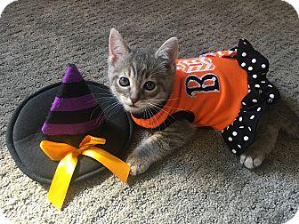 Domestic Shorthair Kitten for adoption in Mount Laurel, New Jersey - Evangelina