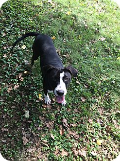 Great Dane Mix Puppy for adoption in St. Charles, Missouri - Daniel