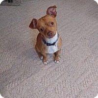 Jack Russell Terrier/Manchester Terrier Mix Dog for adoption in Seattle, Washington - Max