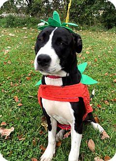 Terrier (Unknown Type, Medium) Mix Puppy for adoption in Detroit, Michigan - Sabrina-Adopted!