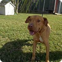 Staffordshire Bull Terrier Dog for adoption in Rosenberg, Texas - A009448