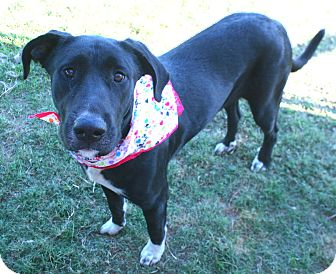 Great Dane Mix Dog for adoption in Pilot Point, Texas - Dominica