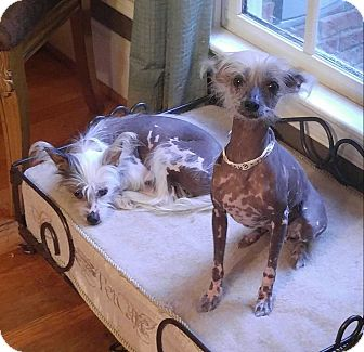 Chinese Crested Dog for adoption in Matthews, North Carolina - Cresty Girl