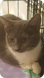 Domestic Shorthair Kitten for adoption in Griffin, Georgia - Chris