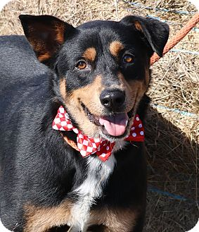 Rottweiler/German Shepherd Dog Mix Dog for adoption in Pluckemin, New Jersey - Elvis