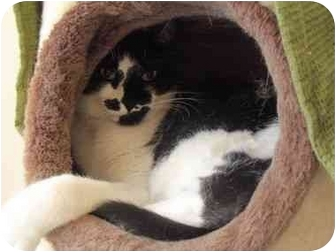 Domestic Shorthair Cat for adoption in El Cajon, California - Tux