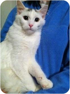 American Shorthair Kitten for adoption in Simpsonville, South Carolina - Mister