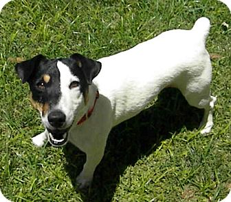 Jack Russell Terrier Dog for adoption in Phoenix, Arizona - JOEY