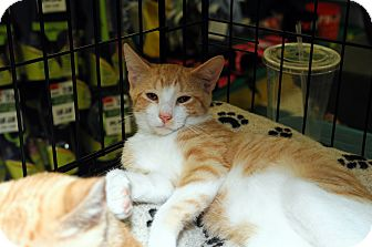 Domestic Shorthair Cat for adoption in Farmingdale, New York - Finley