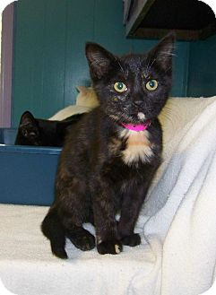 Domestic Shorthair Kitten for adoption in Dover, Ohio - Talula