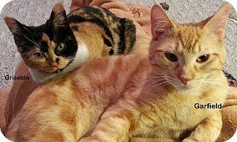 Domestic Shorthair Cat for adoption in Portland, Oregon - Griselda
