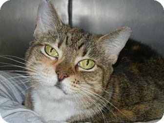 Domestic Shorthair Cat for adoption in Miami, Florida - Stella