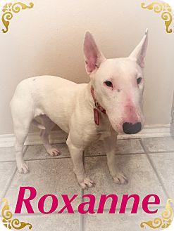 Bull Terrier Dog for adoption in Dallas, Texas - Roxanne