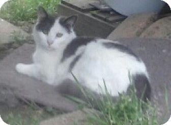 Domestic Shorthair Cat for adoption in Malvern, Arkansas - PETEY