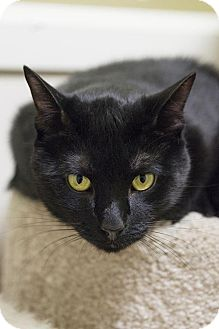 Domestic Shorthair Cat for adoption in Brick, New Jersey - Breaker