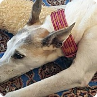 Adopt A Pet :: Tortelli - Spencerville, MD