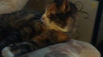 Domestic Mediumhair Cat for adoption in Quentin, Pennsylvania - Autumn