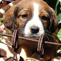 Adopt A Pet :: Dallas (6 lb) - SUSSEX, NJ