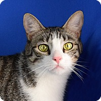 Domestic Shorthair Kitten for adoption in Carencro, Louisiana - Jetson