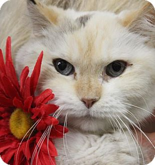 Siamese Cat for adoption in Clayton, New Jersey - LAURA