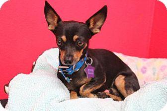 Chihuahua Dog for adoption in Phoenix, Arizona - Chaco