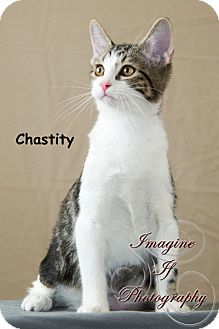 Domestic Shorthair Kitten for adoption in Oklahoma City, Oklahoma - Chastity