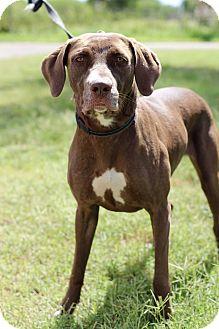 Labrador Retriever/American Pit Bull Terrier Mix Dog for adoption in McAllen, Texas - Hazel
